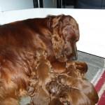 Nieuwe pups geboren
