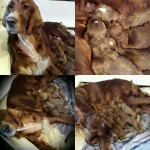 ierse setter pups nu 1 week oud