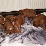 Ierse setter pups nu 3 weken oud