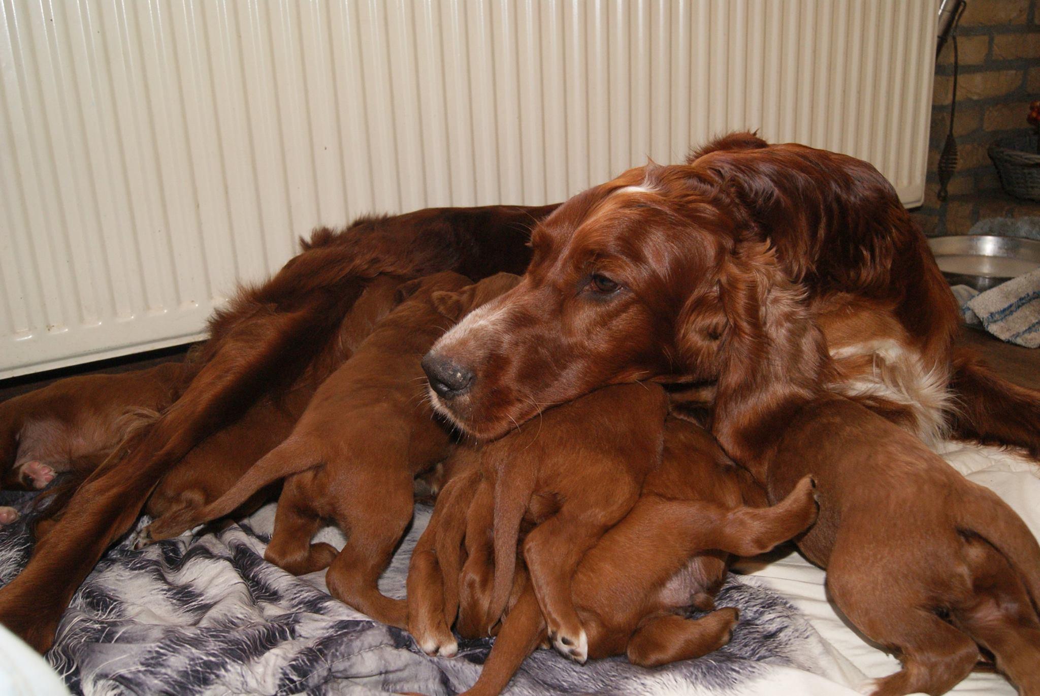 Ierse setter pups nu 3 weken oud (2)