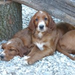 puppy''s ierse setter 7 weken oud of the frision